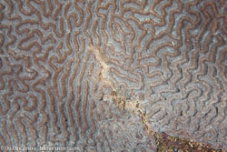 BD-110318-Puerto-Galera-4004-Platygyra-sp.-Ehrenberg.-1834-[Brain-coral].jpg